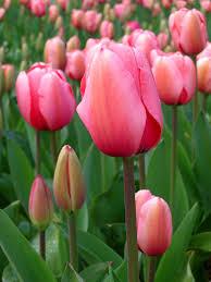MFAN - tulips 2